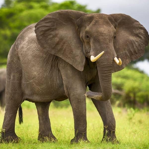 Продам большого слона. Недорого!